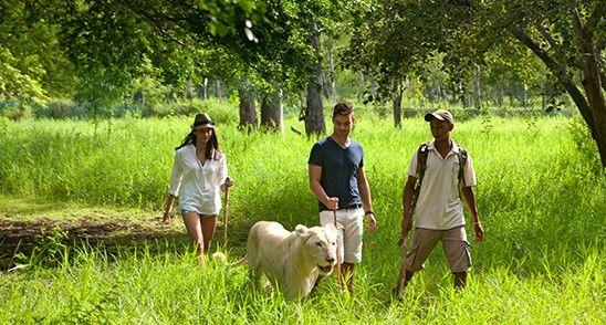 Walk with lions in Mauritius